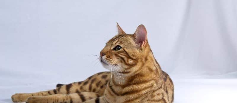 gato_bengali_precio