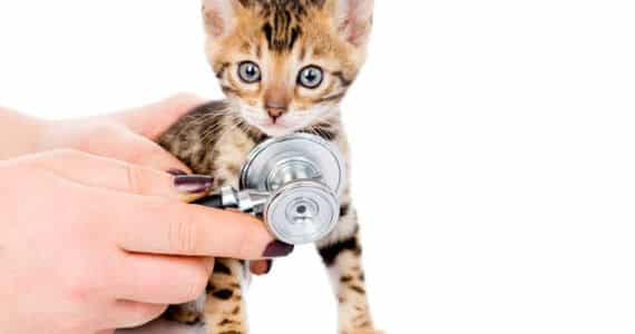 bengal-kitten-at-the-vet
