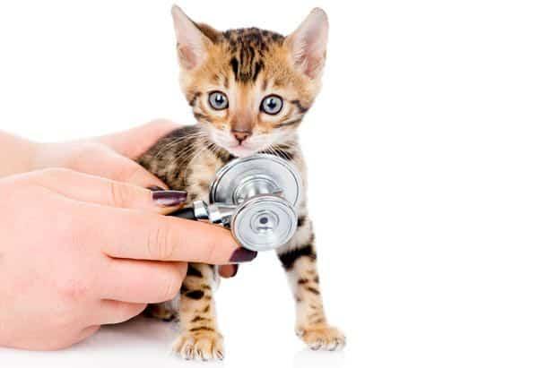 bengal-kitten-at-the-vet
