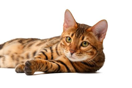 bengal cat lies on white