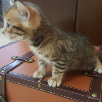 bengal kitten 04012017