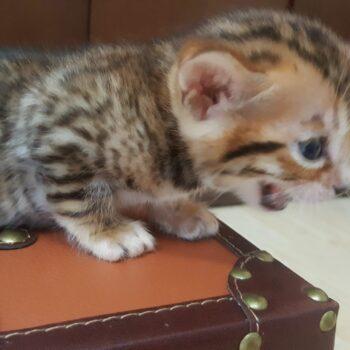 bengal kitten 04012017-2