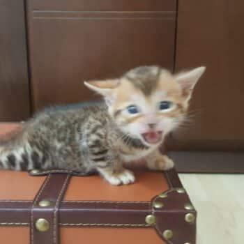 bengal kitten 04012017-3