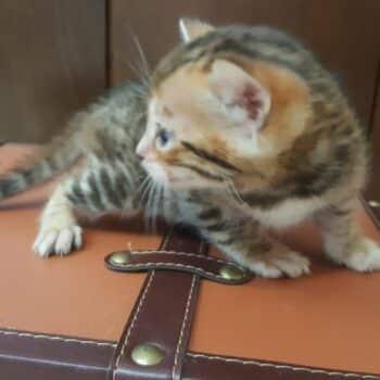 bengal kitten 04012017-4