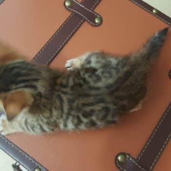 bengal kitten 04012017-2-1