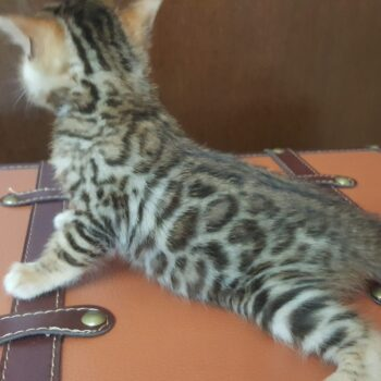 bengal kitten 04012017-2-2