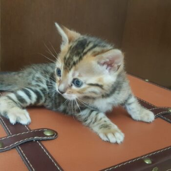 bengal kitten 04012017-2-3