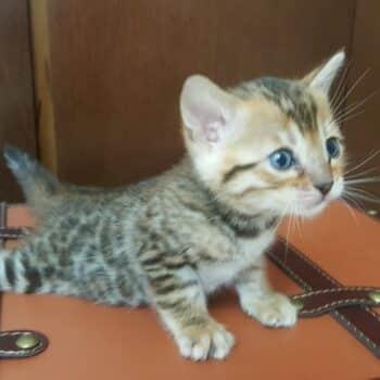 bengal kitten 04012017-2-4