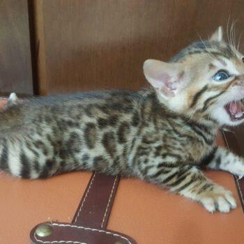 bengal kitten 04012017-3-1