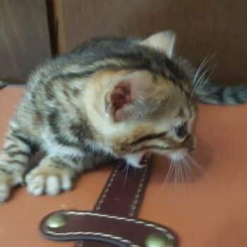 bengal kitten 04012017-3-3