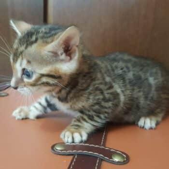 bengal kitten 04012017-3-4