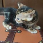 Gato bengali marmolado encuentra hogar junto con hermanita