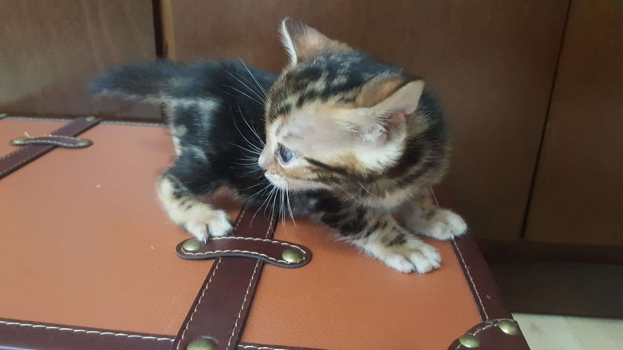 bengal kitten 04012017-4-1