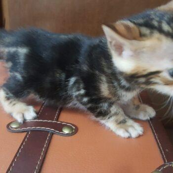 bengal kitten 04012017-4-2
