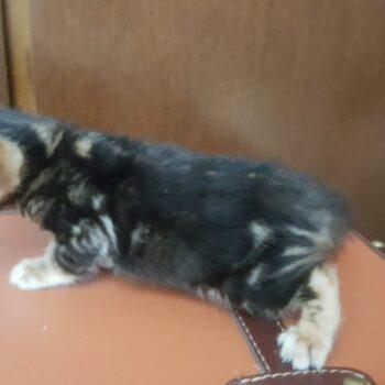 bengal kitten 04012017-4-3