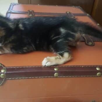 bengal kitten 04012017-4-4