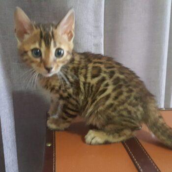 gatito bengal golden 002a