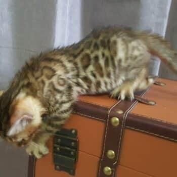 gatito bengal golden 002b