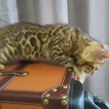 gatito bengal golden 002c