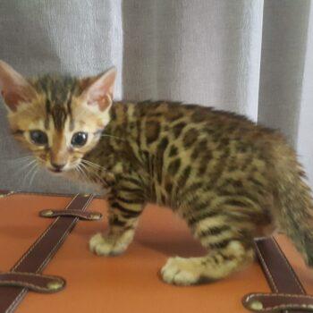 gatito bengal golden 002d