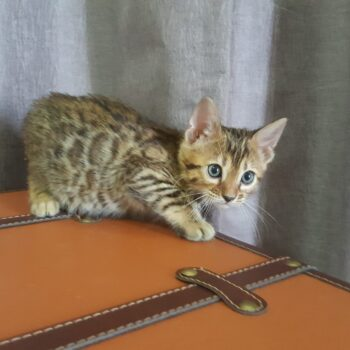 gatito bengal golden 003b