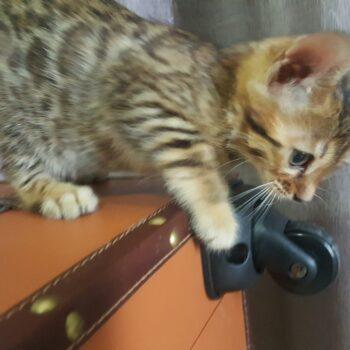 gatito bengal golden 003c