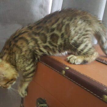 gatito bengal golden 003d