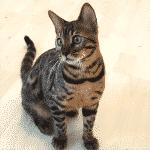 Como introducir otro gatito en casa.