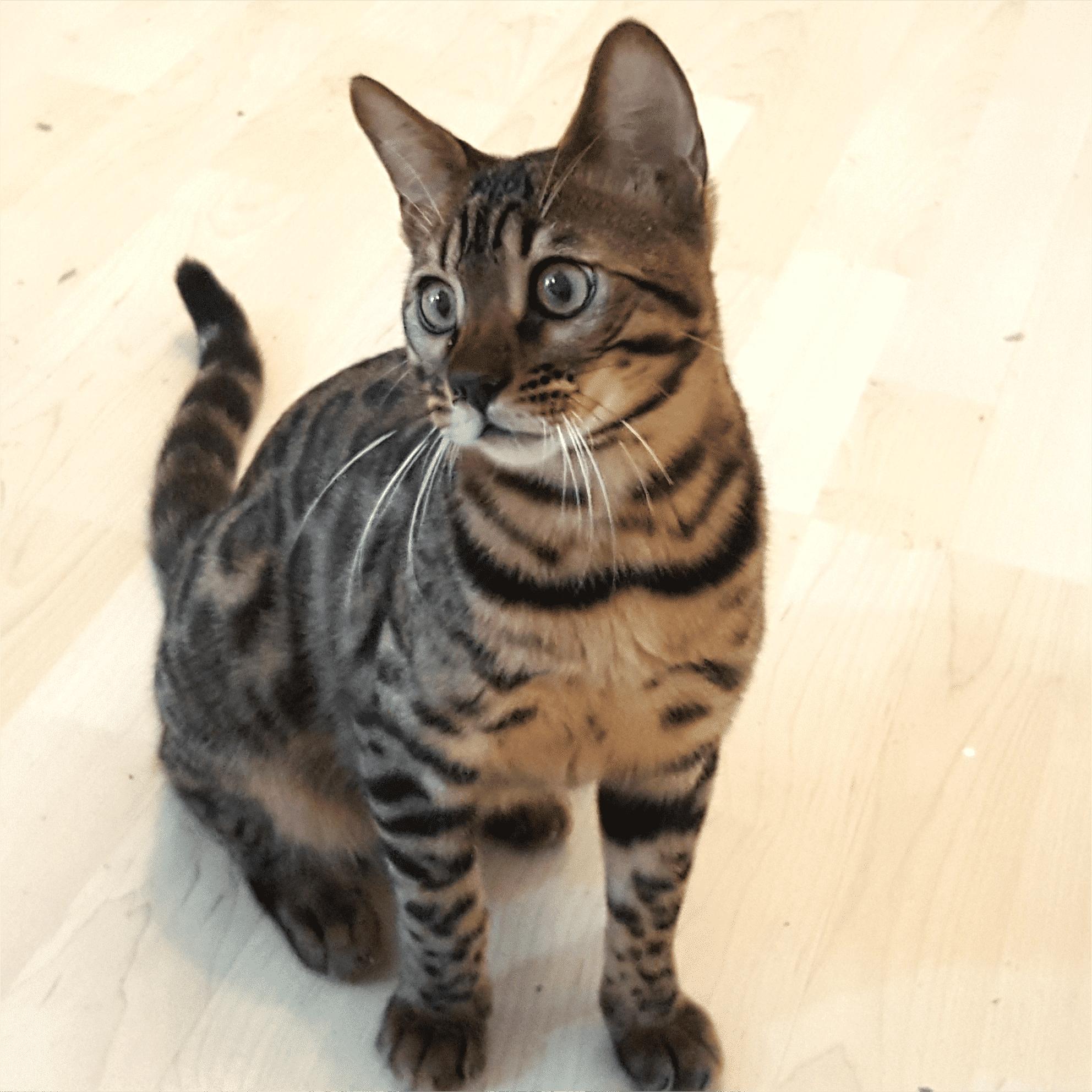 gato bengali iluminado