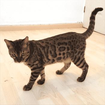 gato bengali caminando