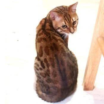 gato bengal orange 1