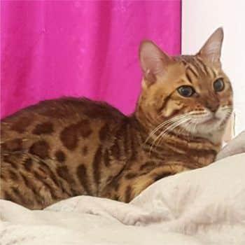 gato bengal orange 2
