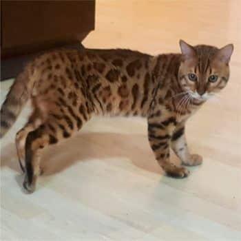 gato bengal orange 3
