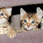 Temperamento del Gato bengalí