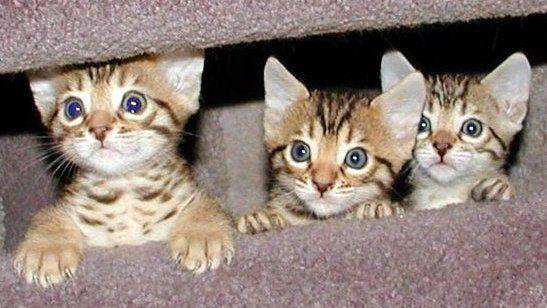 temperamento gato bengali