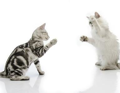 introducir otro gatito en casa