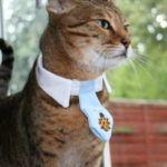 Califica la inteligencia de tu gato