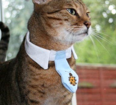 gato-bengali-inteligente
