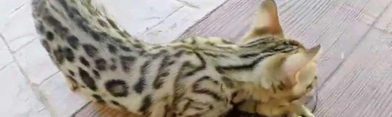 gato toxoplasmosis