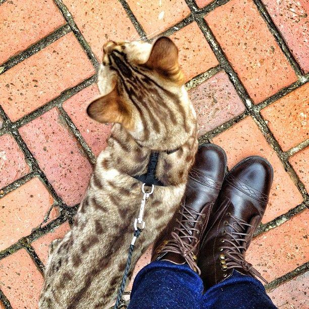 cuanto mide un gato leopardo