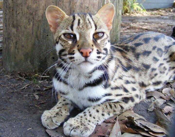 gato leopardo asiatico