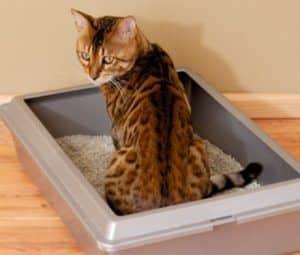 bengal-cat-arenero