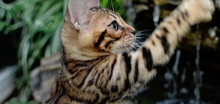 gato_bengali_agua