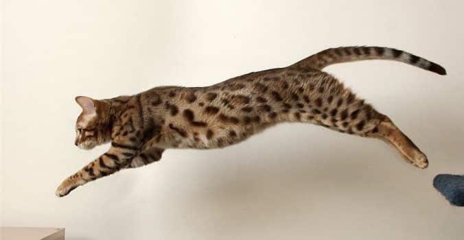 gato_bengali_brincando