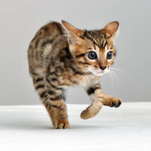 cuanto mide un gato