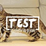 QUIZ DE CONOCIMIENTO, Gato Savannah y Bengali ¿Sabes las diferencias?