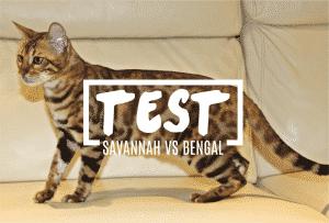 test-gatitos-bengal