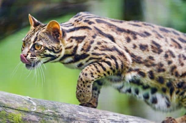 leopardo asiatico