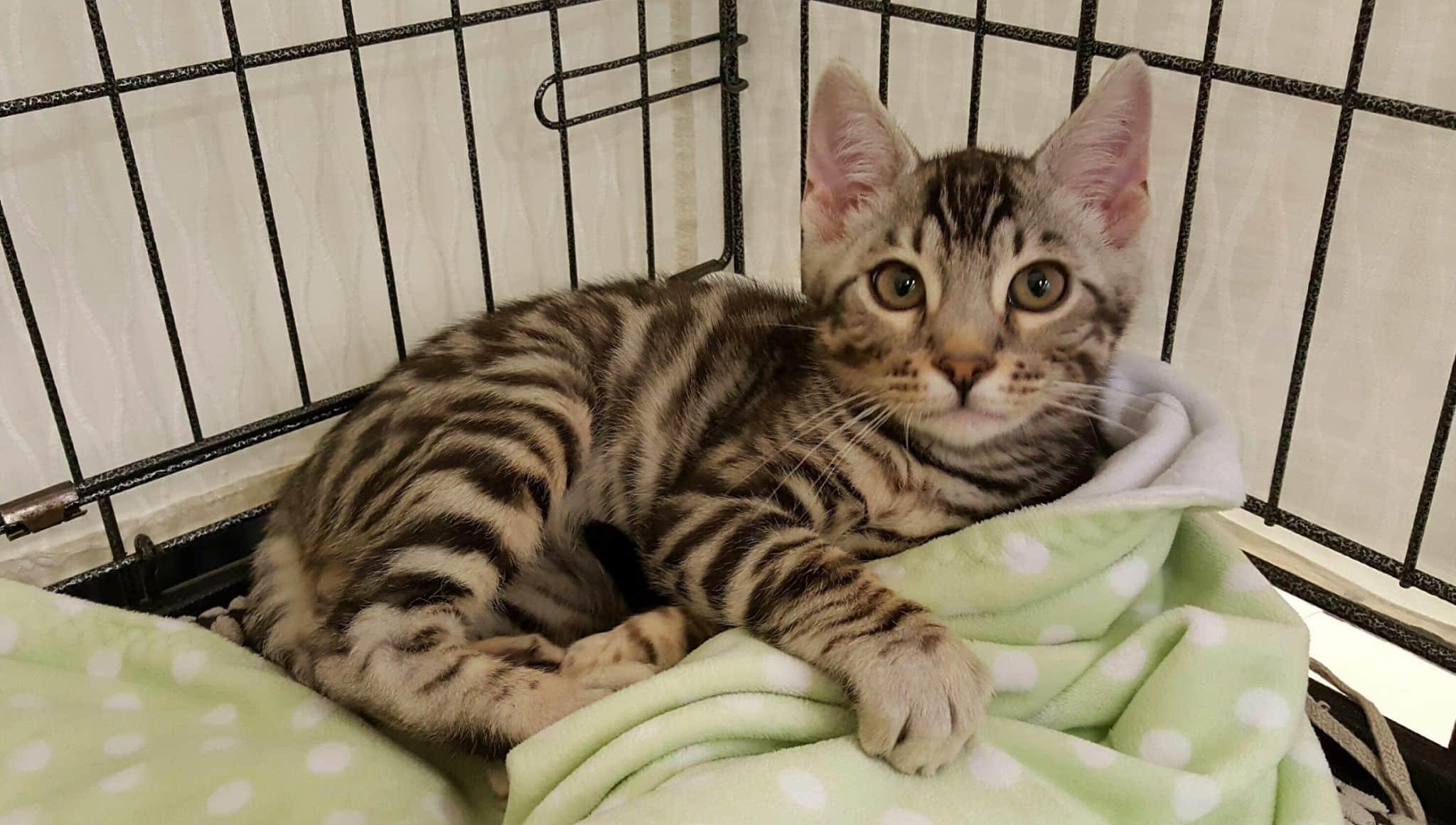 gato de bengala en jaula