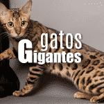 Gatos Gigantes Asombrosos y 100% Reales ¡CONOCELOS!